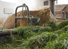 Cow inside of a cow barn Royalty Free Stock Photos