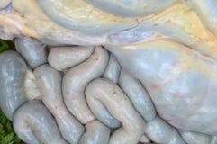 Cow intestines Stock Image