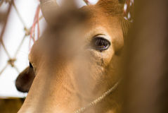 Free Cow Is Crying In Net Royalty Free Stock Image - 46308986