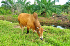 Free Cow Is Eating Grass On A Field. Stock Photo - 65675160