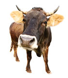 Cow isolated stock photography