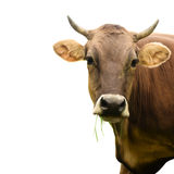 Cow isolated Royalty Free Stock Images
