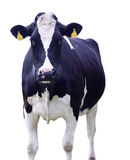 Cow,Isolated Stock Photography