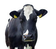 Cow,Isolated. Cow in front of a white background,Isolated Stock Photo