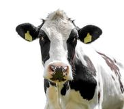 Free Cow Isolated On A White Background Stock Photography - 109533732