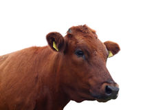 Cow  isolated over white Royalty Free Stock Photography
