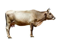 Cow isolated on  white. Cow isolated on the white Stock Image