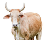 Cow isolated Stock Photos