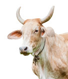 Cow isolated Stock Images