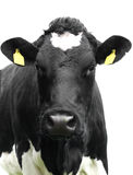 Cow isolated. Stock Photography