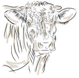 Cow isolated on a white background. Shot of a dairy cow on a white background Stock Photos