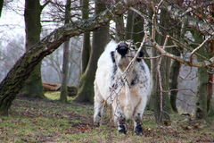 The cow itch on a branch Stock Photography