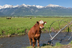 Cow in Joseph, Oregon stock photography