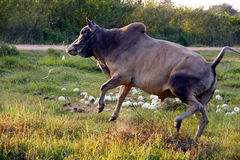 Cow jumping Stock Photography