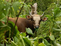 Cow in the jungle. This cow suddenly appeared from the jungle. The photo was taken in Indonesia Nusa Tengarra in 2015 when traveling around Flores island which Royalty Free Stock Images
