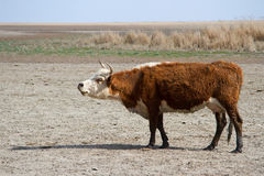 Cow of the Kalmyk breed on the shores of the lake drying Royalty Free Stock Image