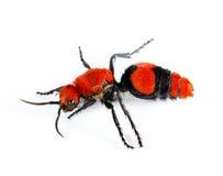 Cow Killer or Velvet ant in isolated macro Royalty Free Stock Image