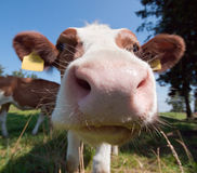 Cow kiss Stock Photo