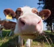 Cow kiss stock photo