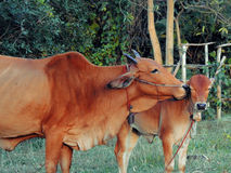 Cow kiss calf Royalty Free Stock Photo