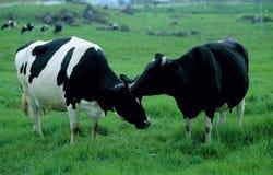 Cow, Kundasang, Sabah Stock Photo