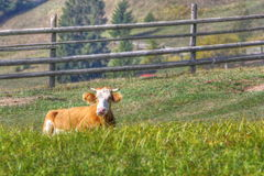 Cow laid in the grass Royalty Free Stock Photos