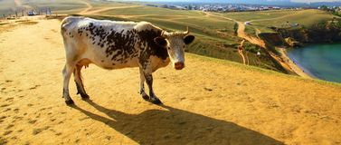Cow. Lake Baikal. Olkhon island. Stock Photo