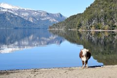 The cow in the lake, in a peace full day. Background. A cow in the beach of the calm lake Stock Image