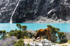 Cow, lake and waterfall in Huascaran National Park Royalty Free Stock Photography