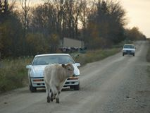 Cow on the Lam in Northern Minnesota. Cow-on-the-Lam in Northern Minnesota. Escaped loose cow in Sebeka, Minnesota stock photos