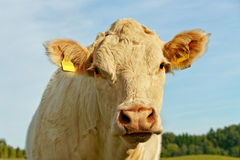 Cow on the land. Head of the white cow on the land stock photos