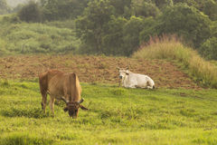 Cow in land of Vinales, Cuba Royalty Free Stock Images