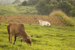 Cow in land of Vinales, Cuba Royalty Free Stock Image