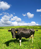 Cow landscape Stock Image