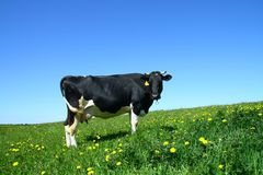 Cow landscape Royalty Free Stock Photo