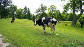 Cow Landscape Royalty Free Stock Image