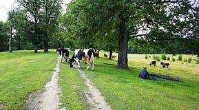 Cow Landscape Stock Photo