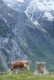 Cow. In Lauterbrunnen valley, Switzerland royalty free stock images