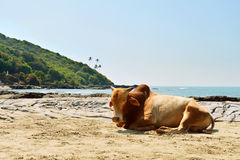 Cow laying on the beach Royalty Free Stock Image