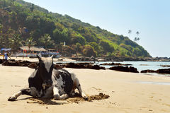 Cow laying on the beach. Of the sea in Vagator, Goa, India Royalty Free Stock Photo