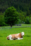Cow laying down on the meadow Stock Photo