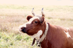 Cow on a leash. In the meadow close-up Stock Photography