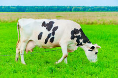 Cow on  leash eats juicy grass Stock Photo
