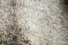 Cow leather used to make drums Stock Photo