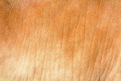 Cow leather which contain red hair. Background of cow leather which contain red hair Stock Images