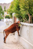 Cow in Leh Royalty Free Stock Photos