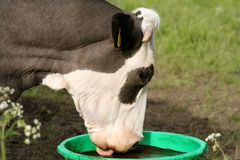 Cow Lick. S a mineral block, which it finds very tasty Royalty Free Stock Images