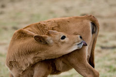Cow Lick Stock Image