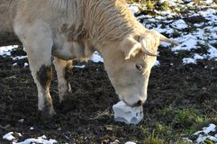 Cow that licking a block salt Stock Photos