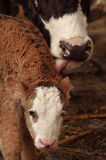 Cow licking calf. Mother cow licking small baby calf Stock Photo